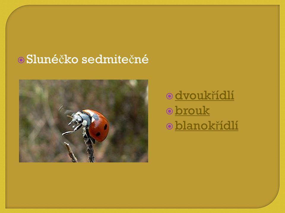 Slunéčko sedmitečné dvoukřídlí brouk blanokřídlí
