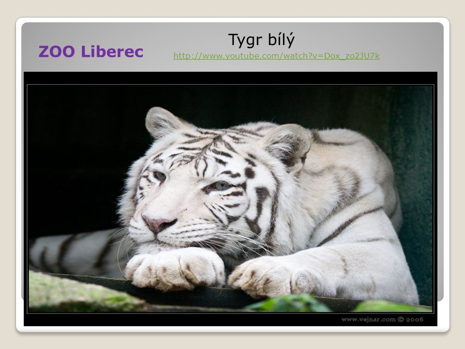 ZOO Liberec Tygr bílý http://www.youtube.com/watch v=Dox_zo2JU7k