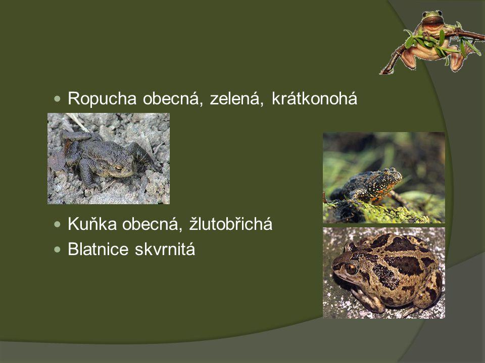Ropucha obecná, zelená, krátkonohá