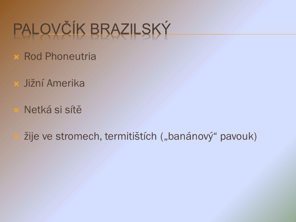 Palovčík brazilský Rod Phoneutria Jižní Amerika Netká si sítě