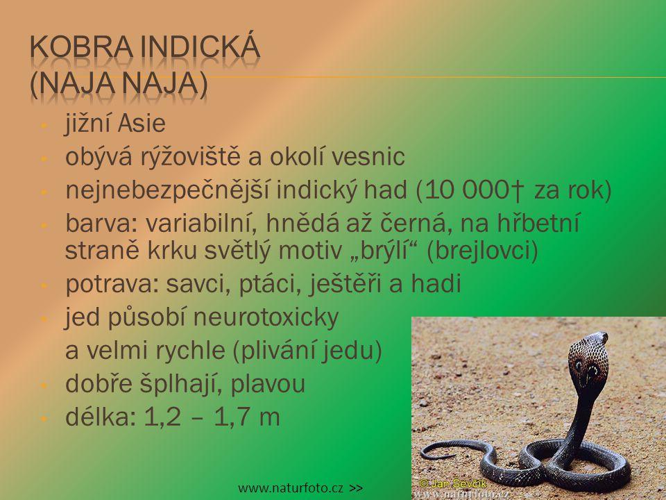 Kobra indická (Naja naja)