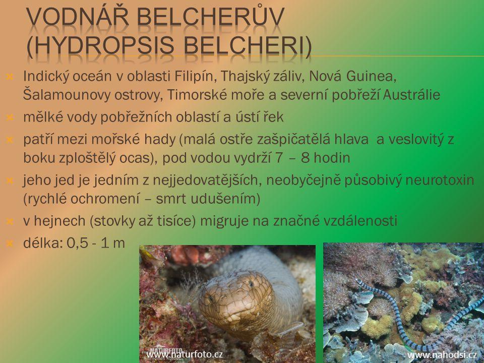 Vodnář Belcherův (Hydropsis belcheri)