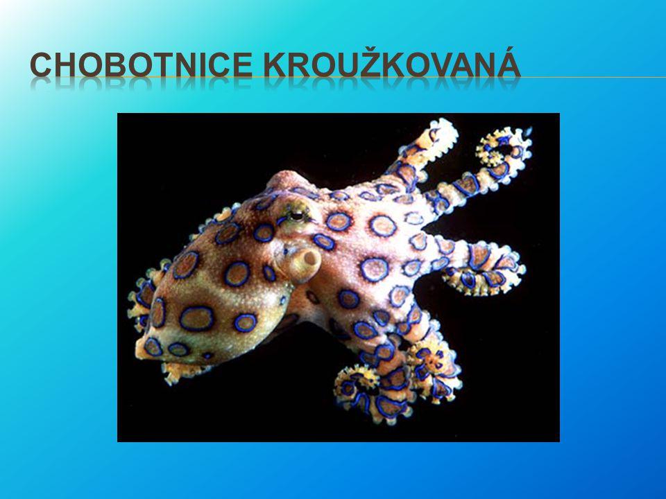 Chobotnice kroužkovaná