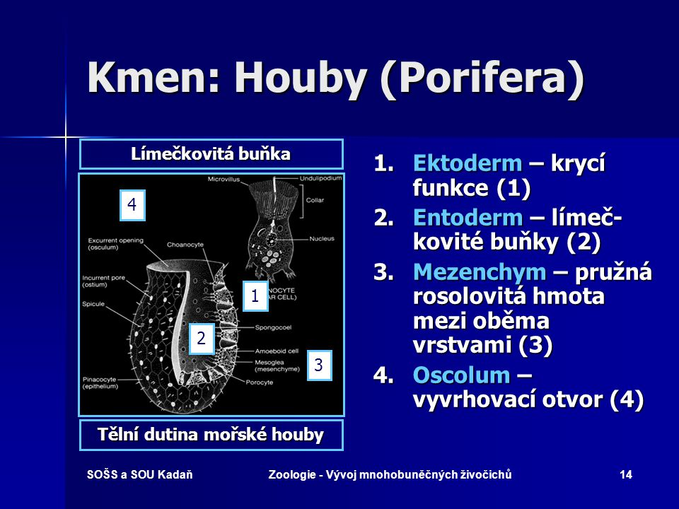 Kmen: Houby (Porifera)