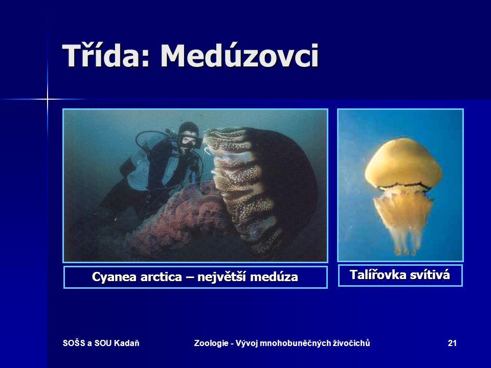 Třída: Medúzovci Talířovka svítivá Cyanea arctica – největší medúza