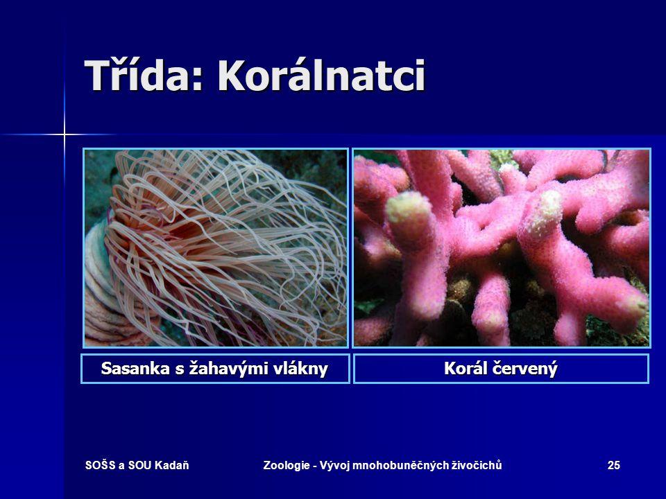 Sasanka s žahavými vlákny Zoologie - Vývoj mnohobuněčných živočichů