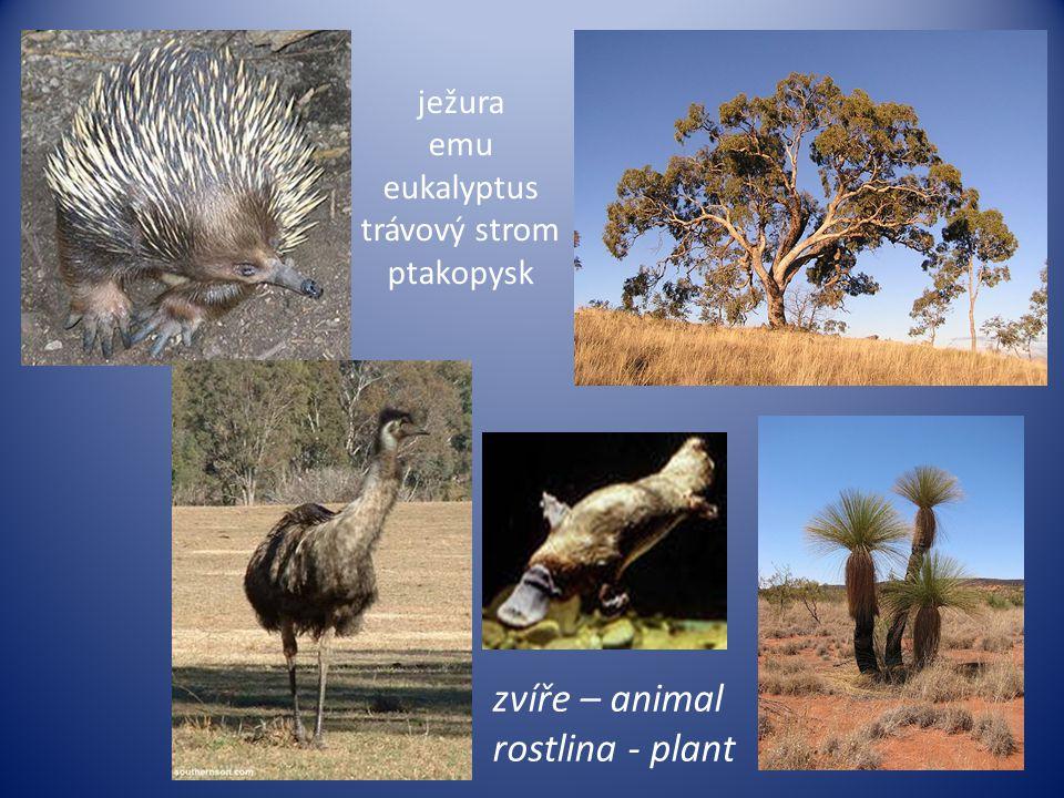 ježura emu eukalyptus trávový strom ptakopysk