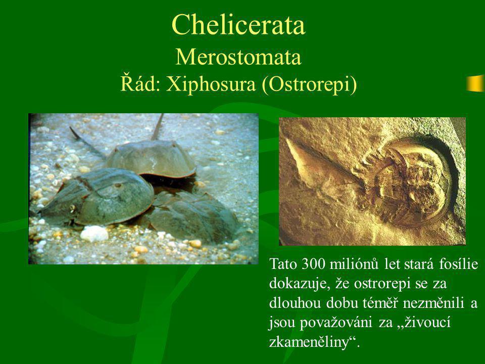 Chelicerata Merostomata Řád: Xiphosura (Ostrorepi)