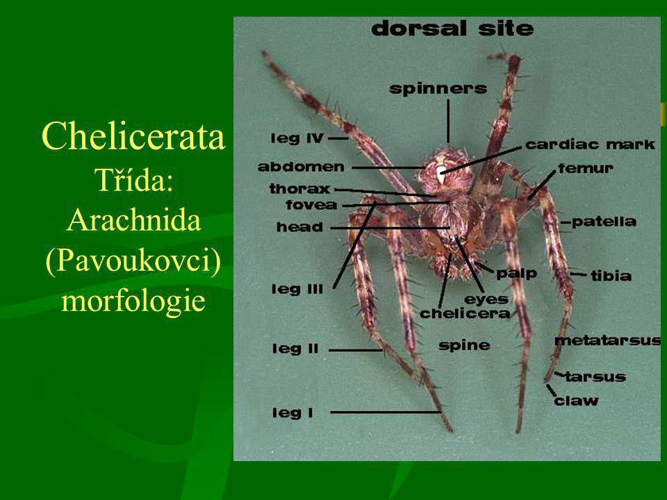 Chelicerata Třída: Arachnida (Pavoukovci) morfologie