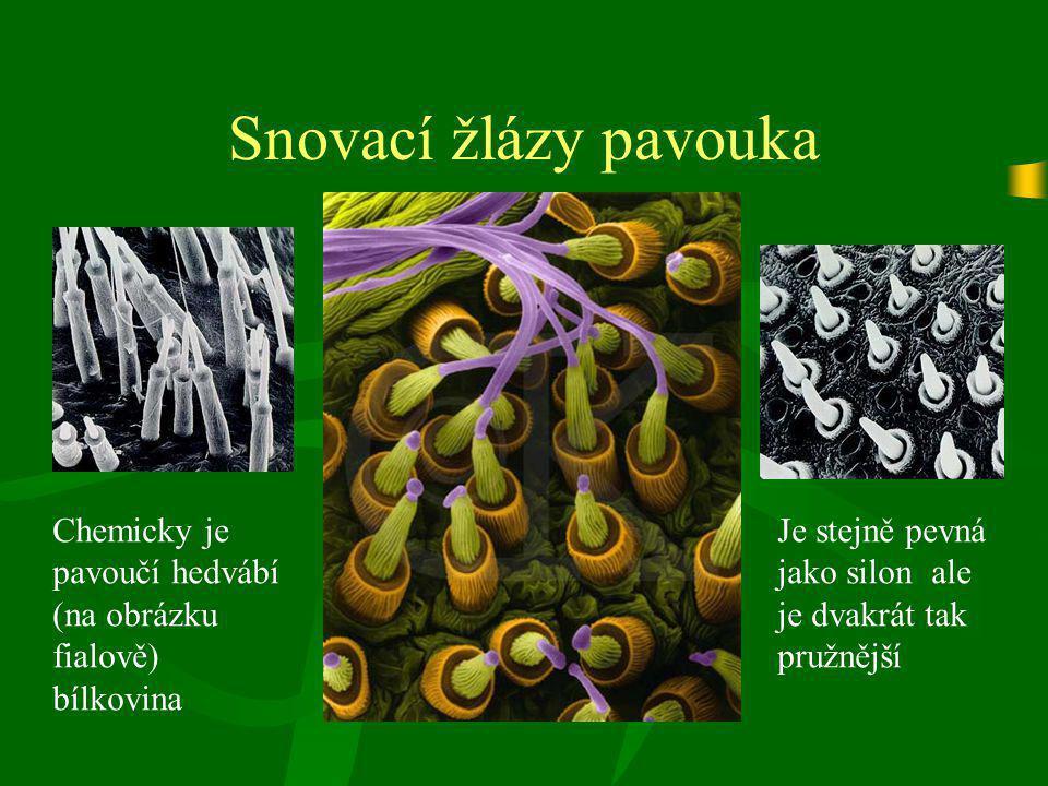 Snovací žlázy pavouka Chemicky je pavoučí hedvábí (na obrázku fialově) bílkovina.