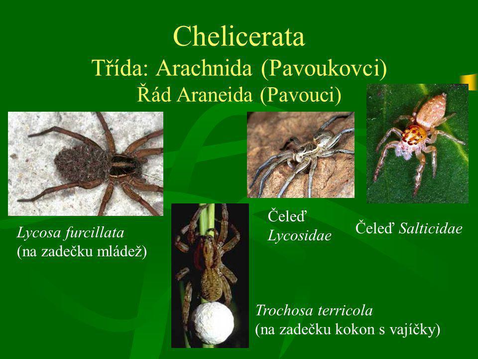 Chelicerata Třída: Arachnida (Pavoukovci) Řád Araneida (Pavouci)