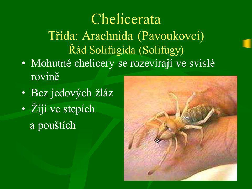 Chelicerata Třída: Arachnida (Pavoukovci) Řád Solifugida (Solifugy)