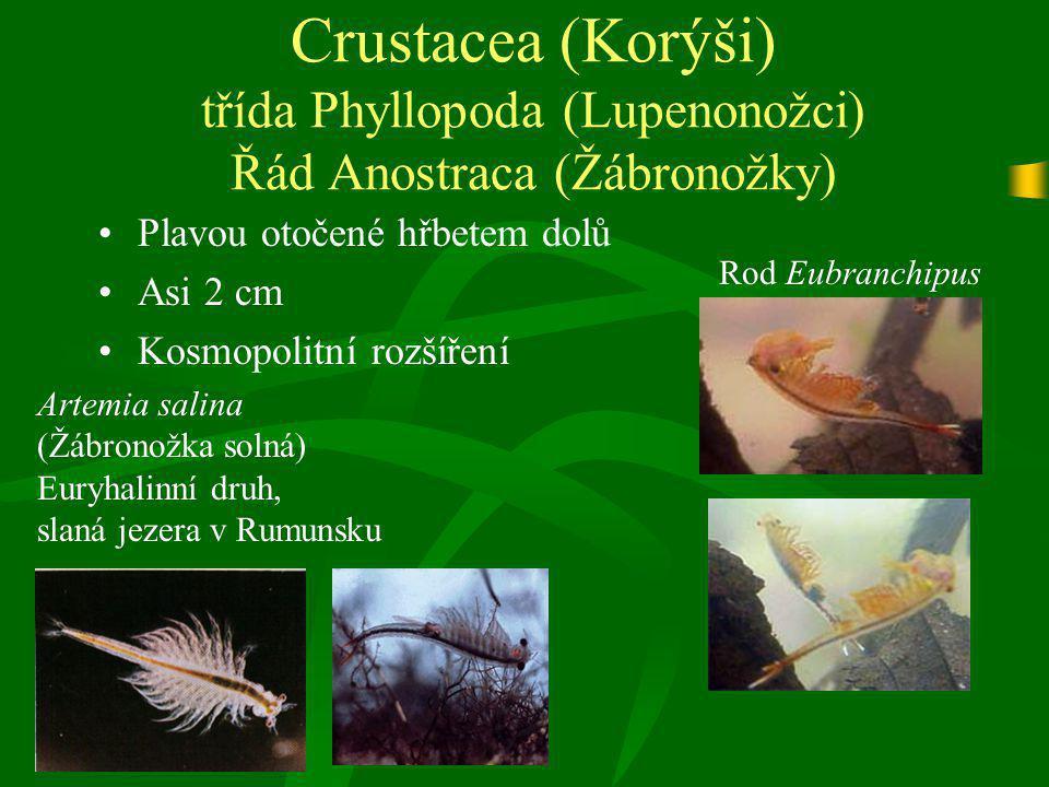 Crustacea (Korýši) třída Phyllopoda (Lupenonožci) Řád Anostraca (Žábronožky)