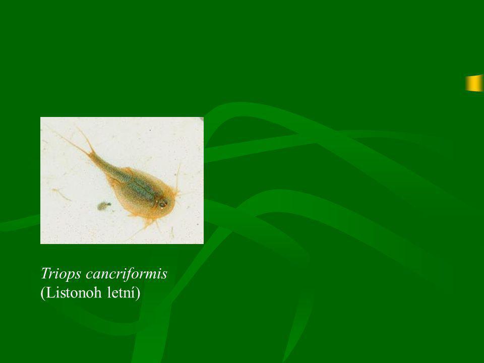 Triops cancriformis (Listonoh letní)