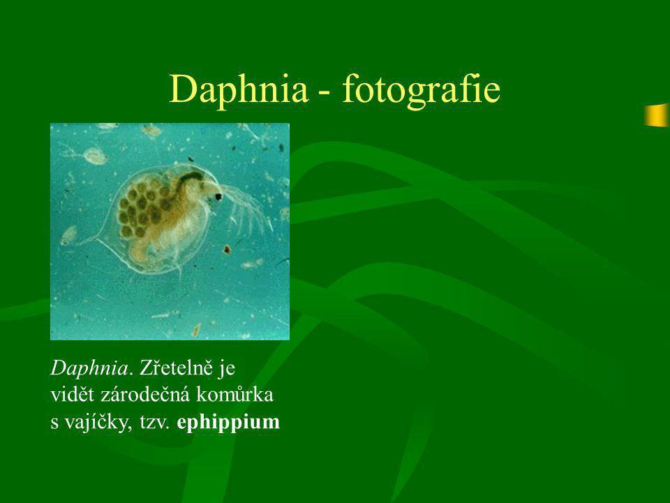 Daphnia - fotografie Daphnia. Zřetelně je vidět zárodečná komůrka s vajíčky, tzv. ephippium