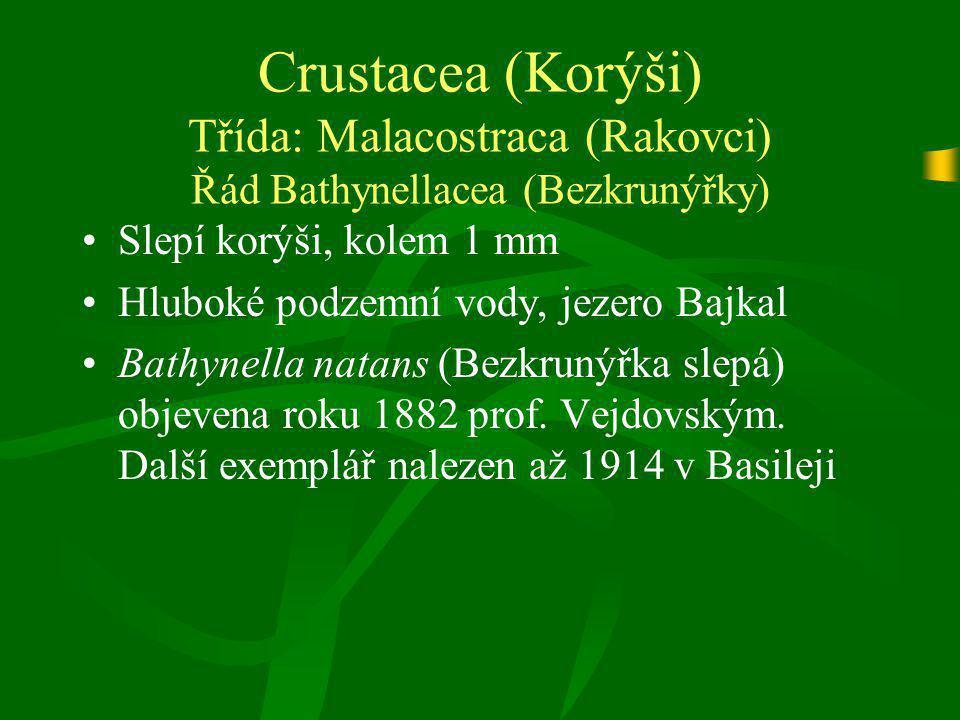 Crustacea (Korýši) Třída: Malacostraca (Rakovci) Řád Bathynellacea (Bezkrunýřky)