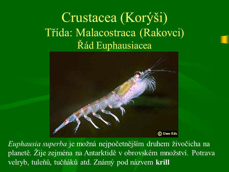 Crustacea (Korýši) Třída: Malacostraca (Rakovci) Řád Euphausiacea