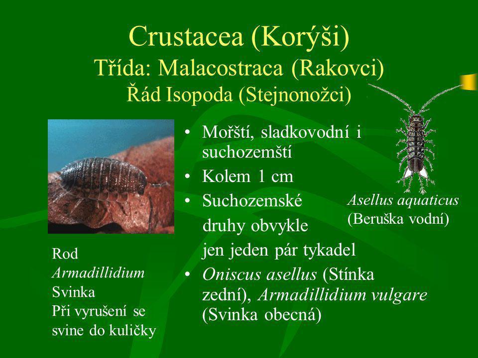 Crustacea (Korýši) Třída: Malacostraca (Rakovci) Řád Isopoda (Stejnonožci)