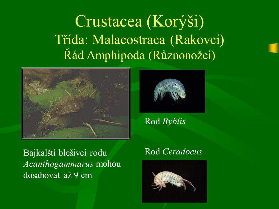 Crustacea (Korýši) Třída: Malacostraca (Rakovci) Řád Amphipoda (Různonožci)