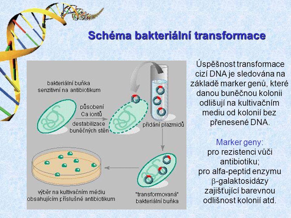 Schéma bakteriální transformace