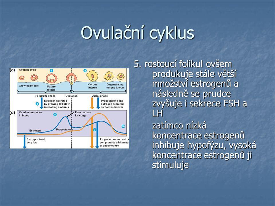 Ovulační cyklus 5. rostoucí folikul ovšem produkuje stále větší množství estrogenů a následně se prudce zvyšuje i sekrece FSH a LH.