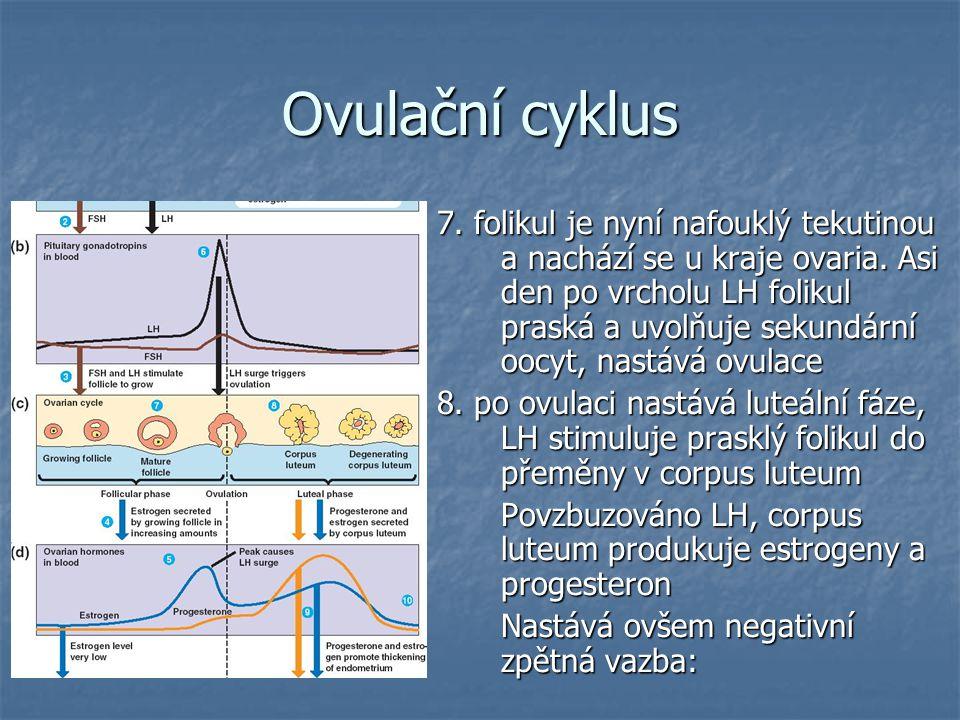 Ovulační cyklus