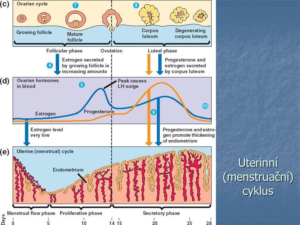 Uterinní (menstruační) cyklus