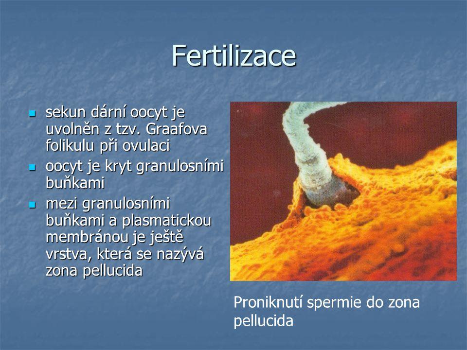 Fertilizace sekun dární oocyt je uvolněn z tzv. Graafova folikulu při ovulaci. oocyt je kryt granulosními buňkami.