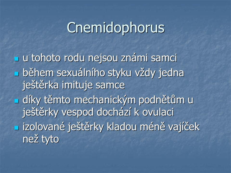 Cnemidophorus u tohoto rodu nejsou známi samci