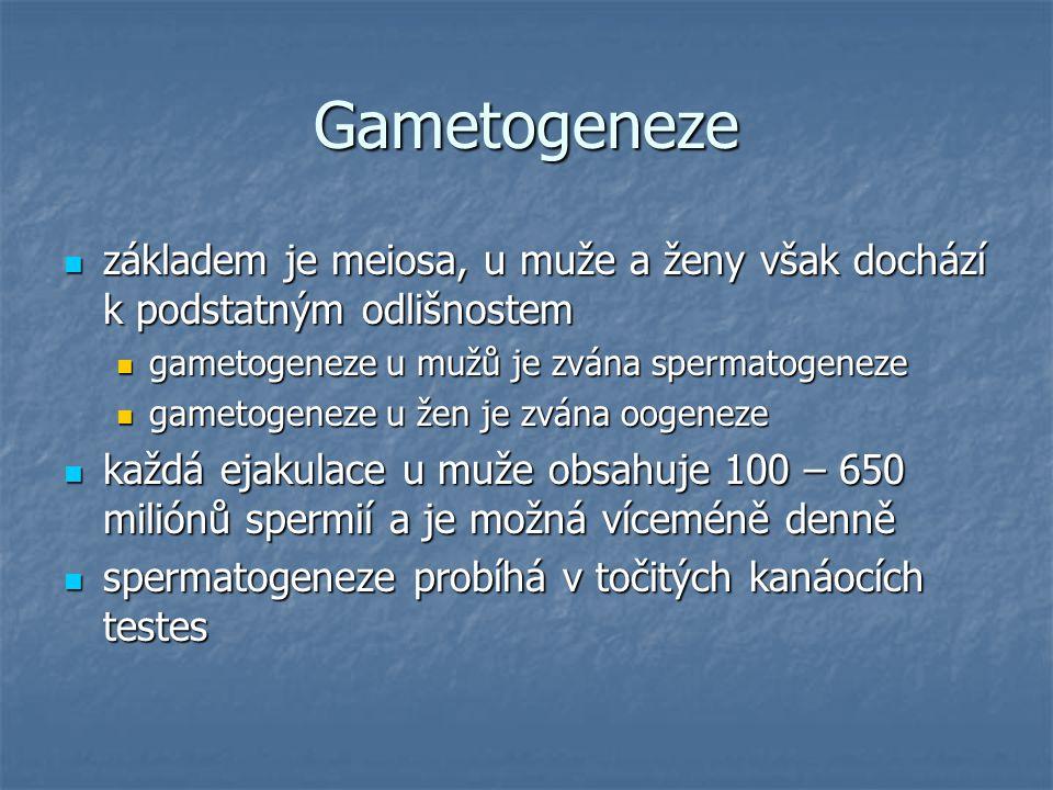 Gametogeneze základem je meiosa, u muže a ženy však dochází k podstatným odlišnostem. gametogeneze u mužů je zvána spermatogeneze.