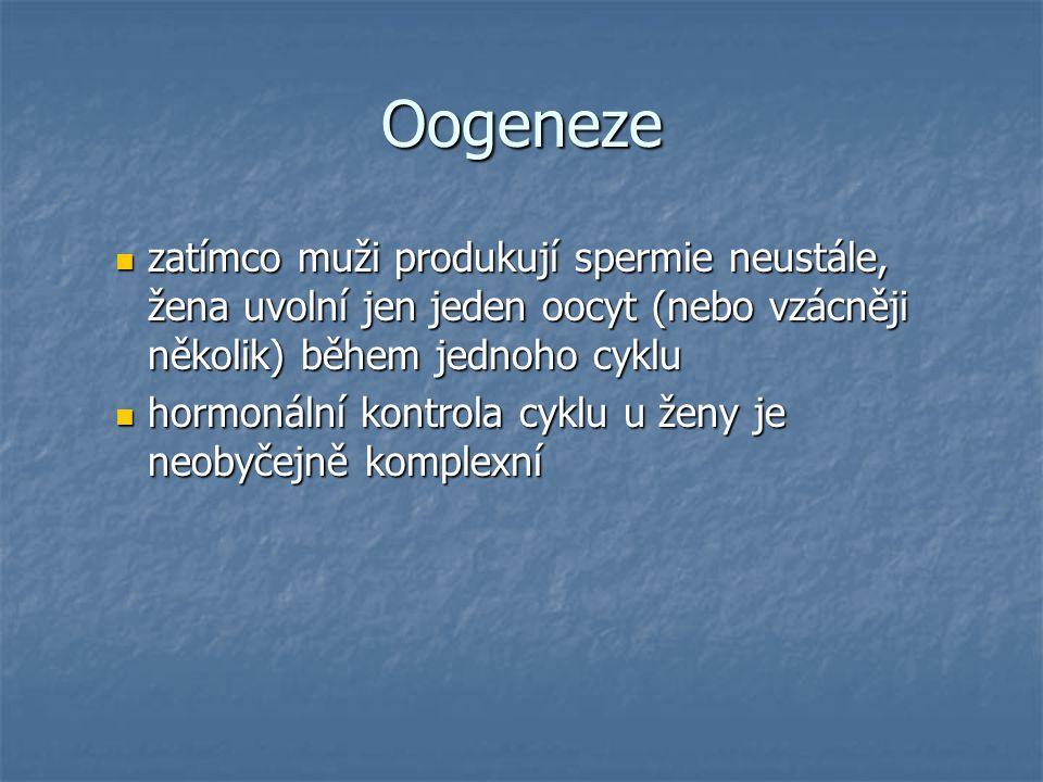 Oogeneze zatímco muži produkují spermie neustále, žena uvolní jen jeden oocyt (nebo vzácněji několik) během jednoho cyklu.