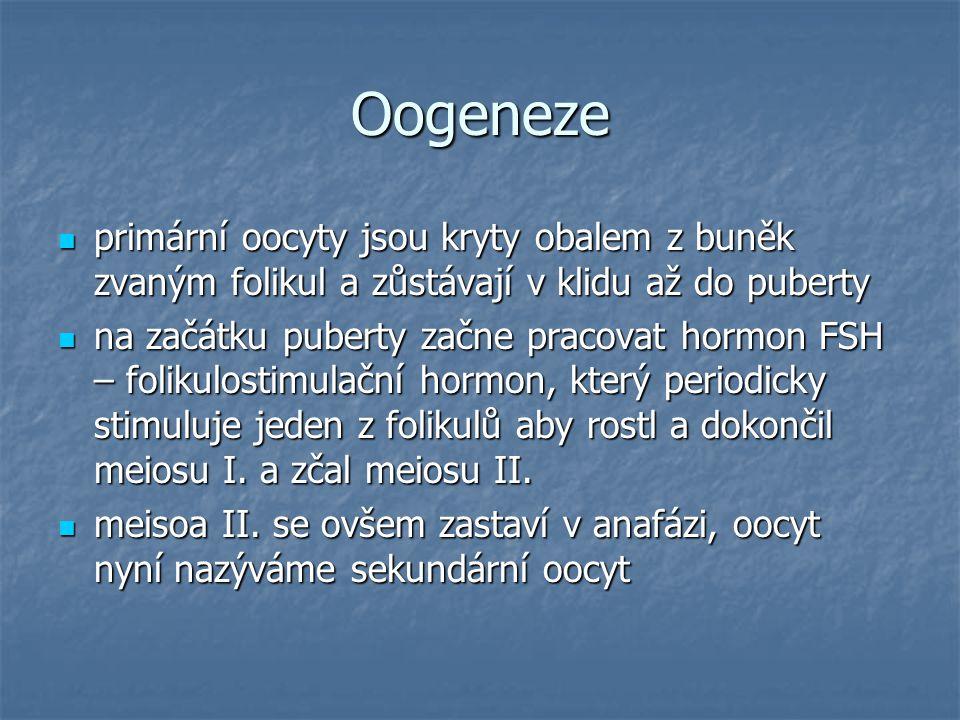 Oogeneze primární oocyty jsou kryty obalem z buněk zvaným folikul a zůstávají v klidu až do puberty.