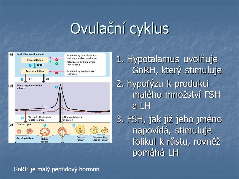 Ovulační cyklus 1. Hypotalamus uvolňuje GnRH, který stimuluje