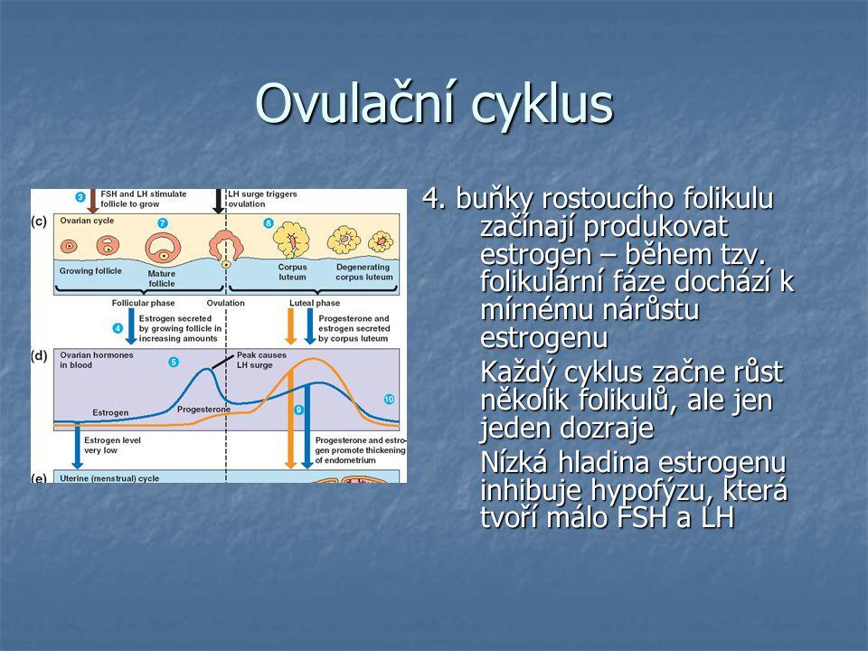 Ovulační cyklus 4. buňky rostoucího folikulu začínají produkovat estrogen – během tzv. folikulární fáze dochází k mírnému nárůstu estrogenu.
