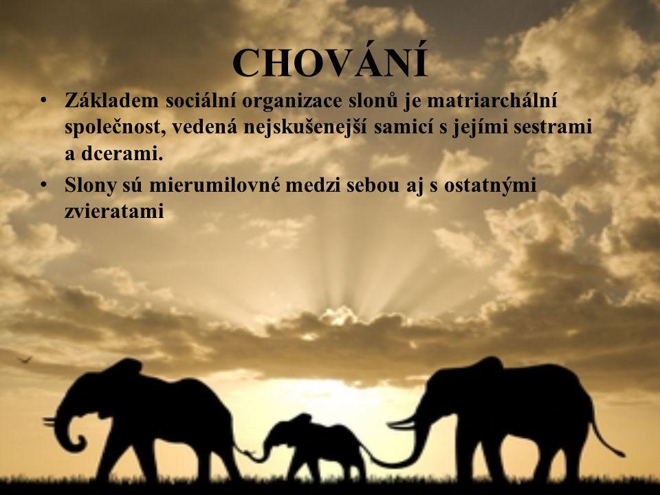 CHOVÁNÍ Základem sociální organizace slonů je matriarchální společnost, vedená nejskušenejší samicí s jejími sestrami a dcerami.