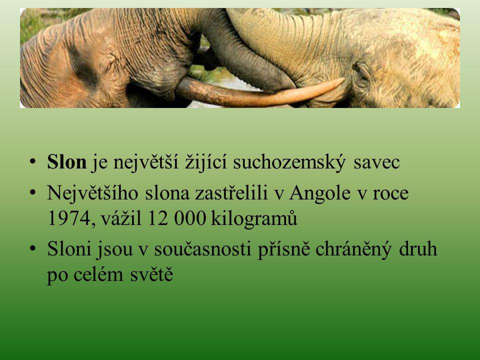 Slon je největší žijící suchozemský savec