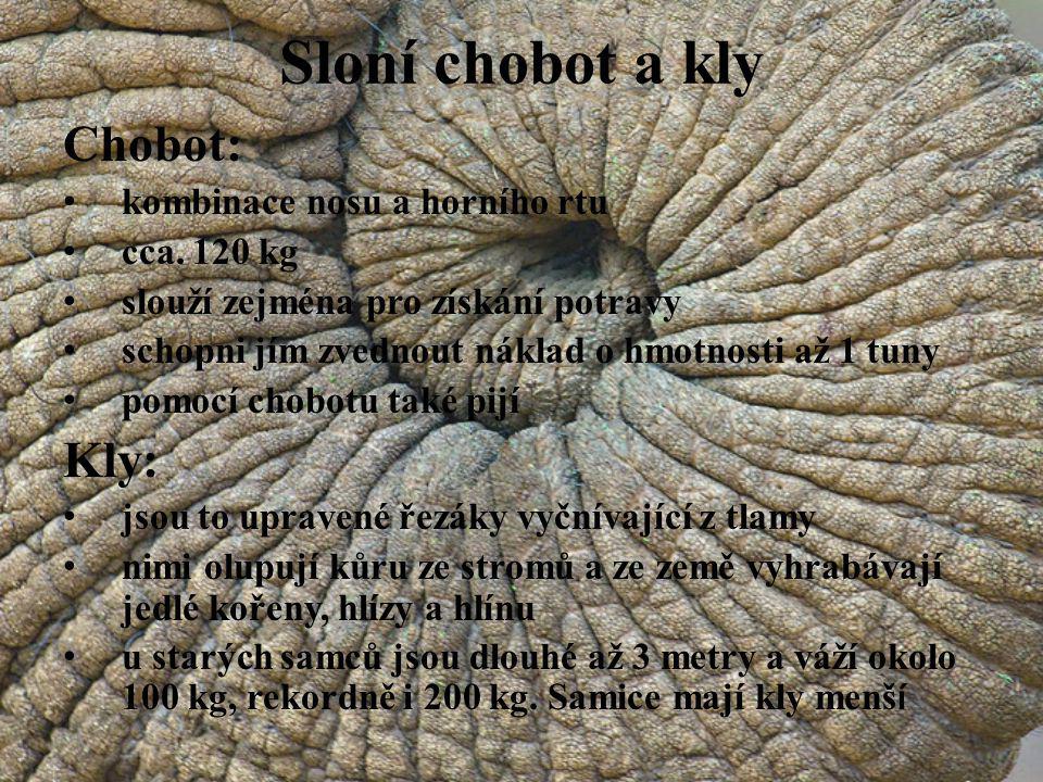Sloní chobot a kly Chobot: Kly: kombinace nosu a horního rtu
