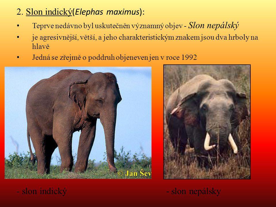 2. Slon indický(Elephas maximus):