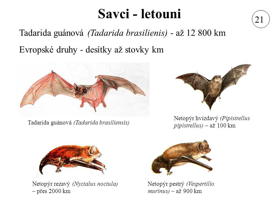 Savci - letouni 21. Tadarida guánová (Tadarida brasilienis) - až 12 800 km. Evropské druhy - desítky až stovky km.