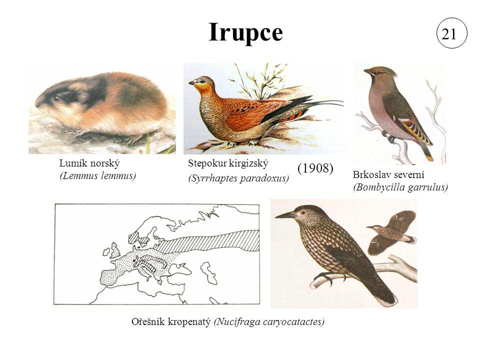 Irupce 21 (1908) Lumík norský (Lemmus lemmus)