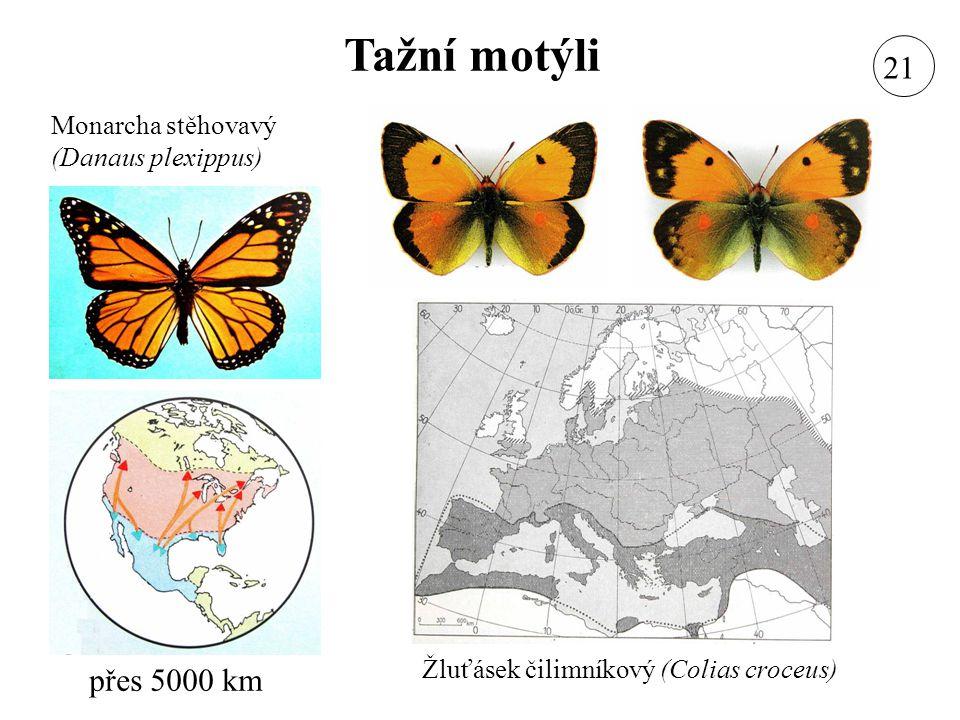 Tažní motýli 21 přes 5000 km Monarcha stěhovavý (Danaus plexippus)