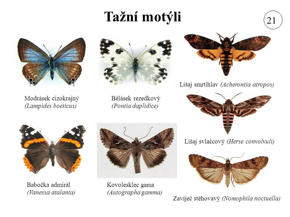 Tažní motýli 21 Lišaj smrtihlav (Acherontia atropos)