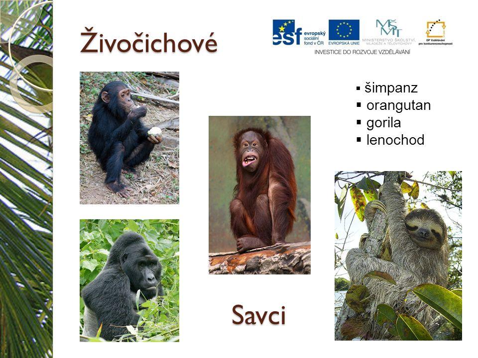 Živočichové šimpanz orangutan gorila lenochod Savci