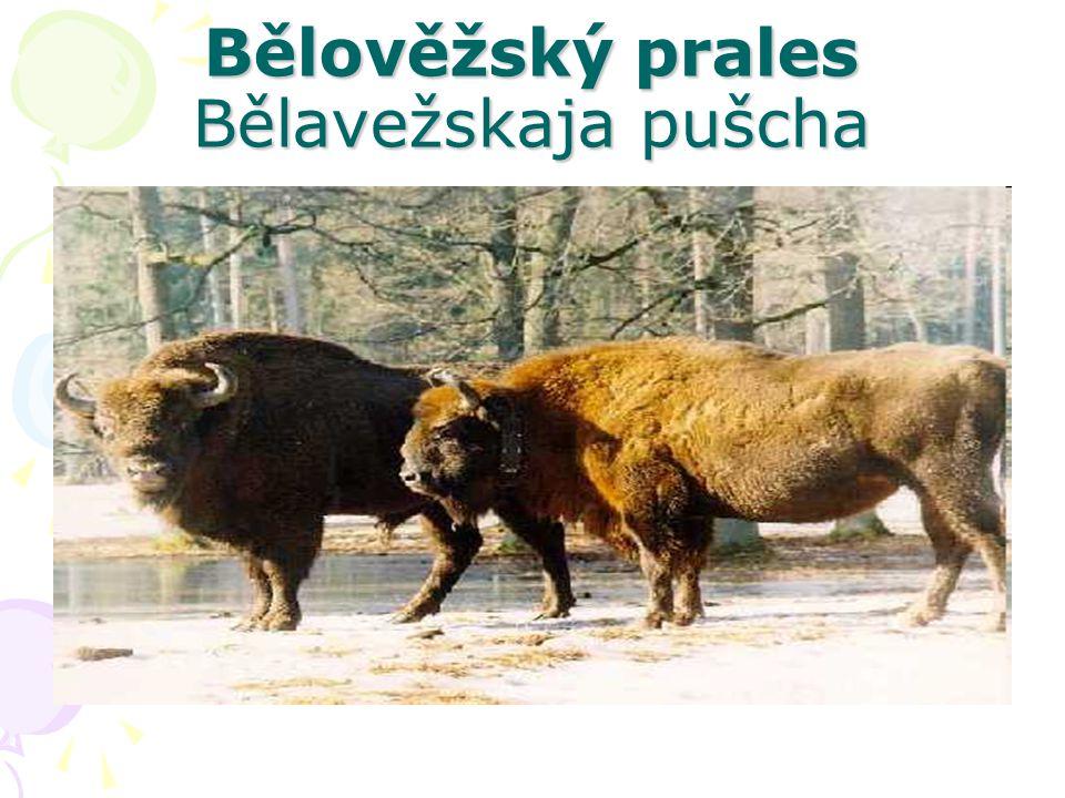 Bělověžský prales Bělavežskaja pušcha