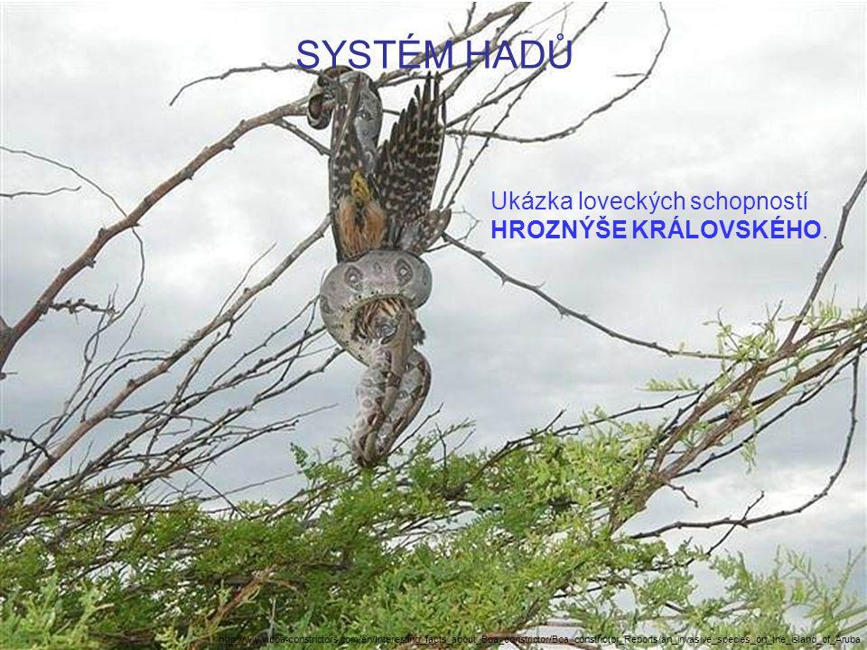SYSTÉM HADŮ Ukázka loveckých schopností HROZNÝŠE KRÁLOVSKÉHO.