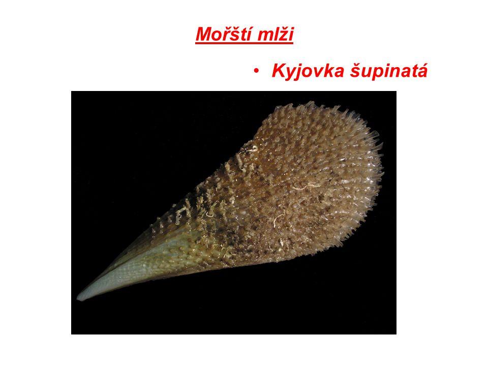 Mořští mlži Kyjovka šupinatá