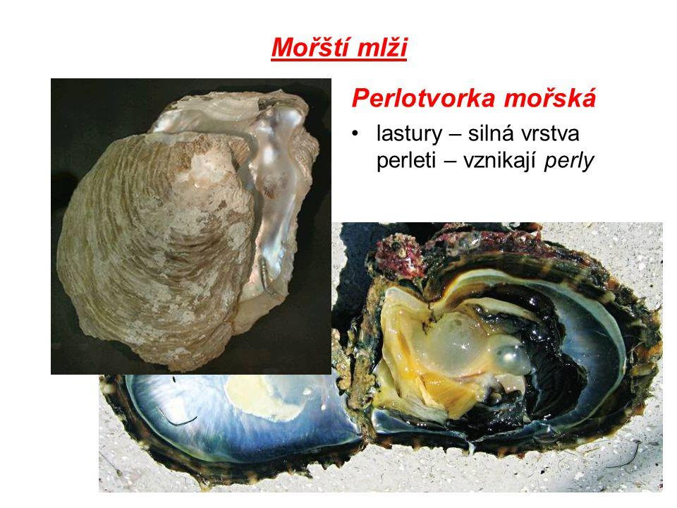 Mořští mlži Perlotvorka mořská