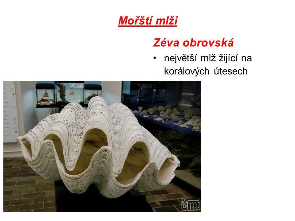 Mořští mlži Zéva obrovská největší mlž žijící na korálových útesech
