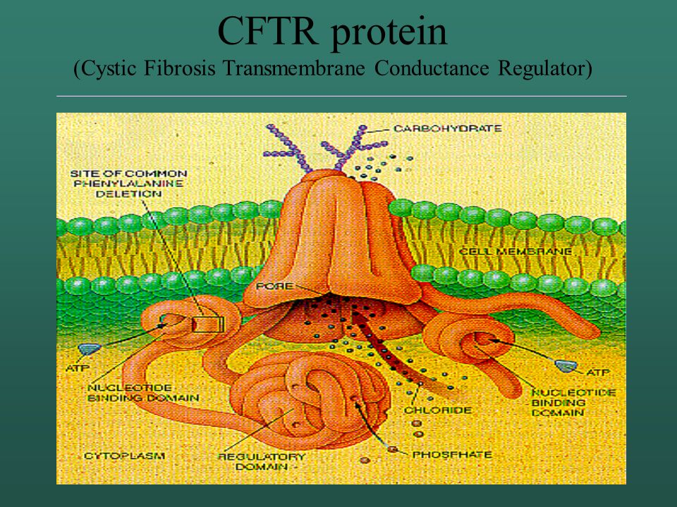 CFTR protein (Cystic Fibrosis Transmembrane Conductance Regulator)