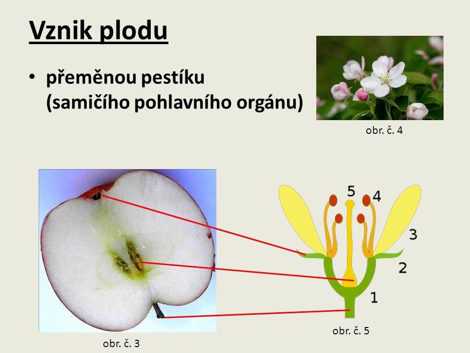 Vznik plodu přeměnou pestíku (samičího pohlavního orgánu) obr. č. 4